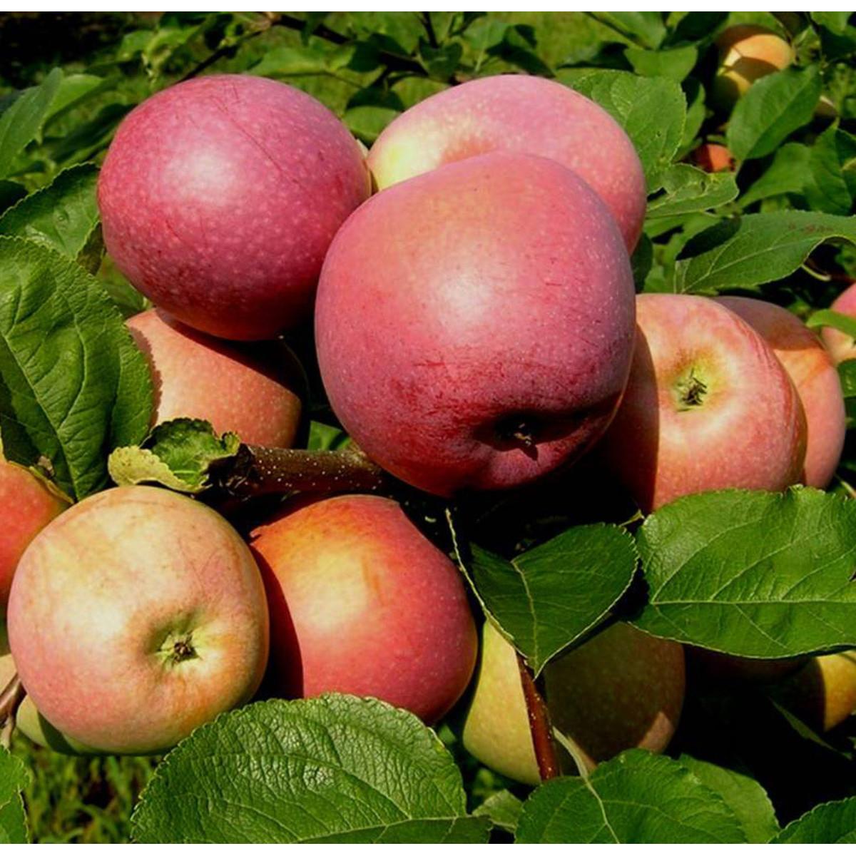Яблоня Слава победителю 3-5 л высота 100-180 см