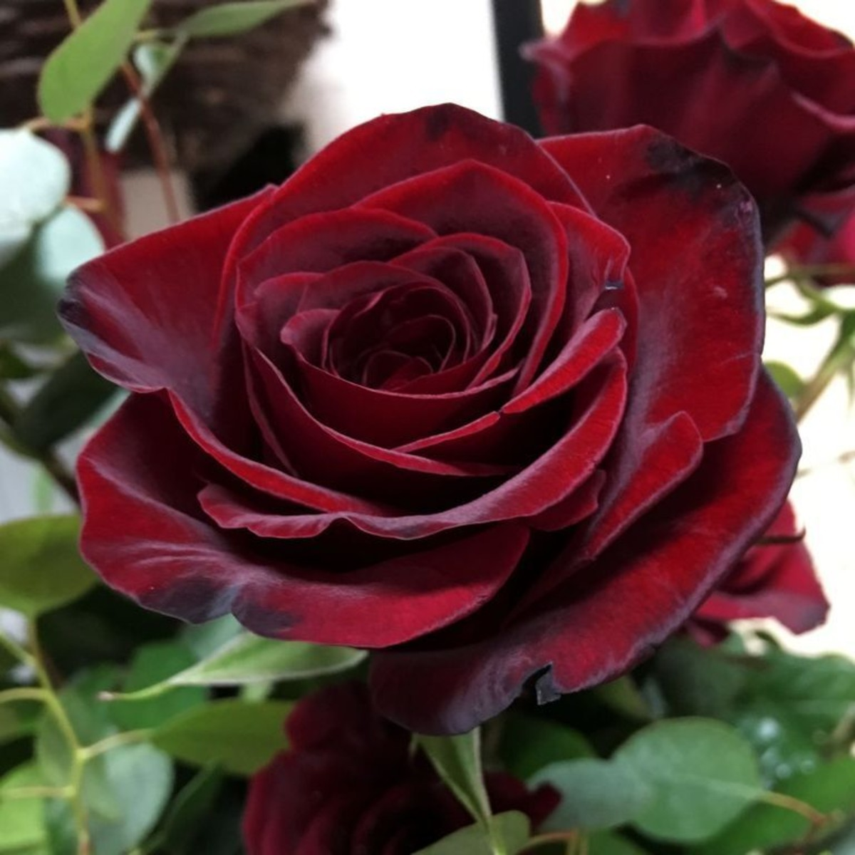 Роза чайно-гибридная Блэк 23x40 см