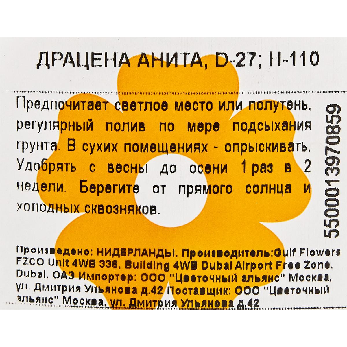 Драцена Анита 27Х110