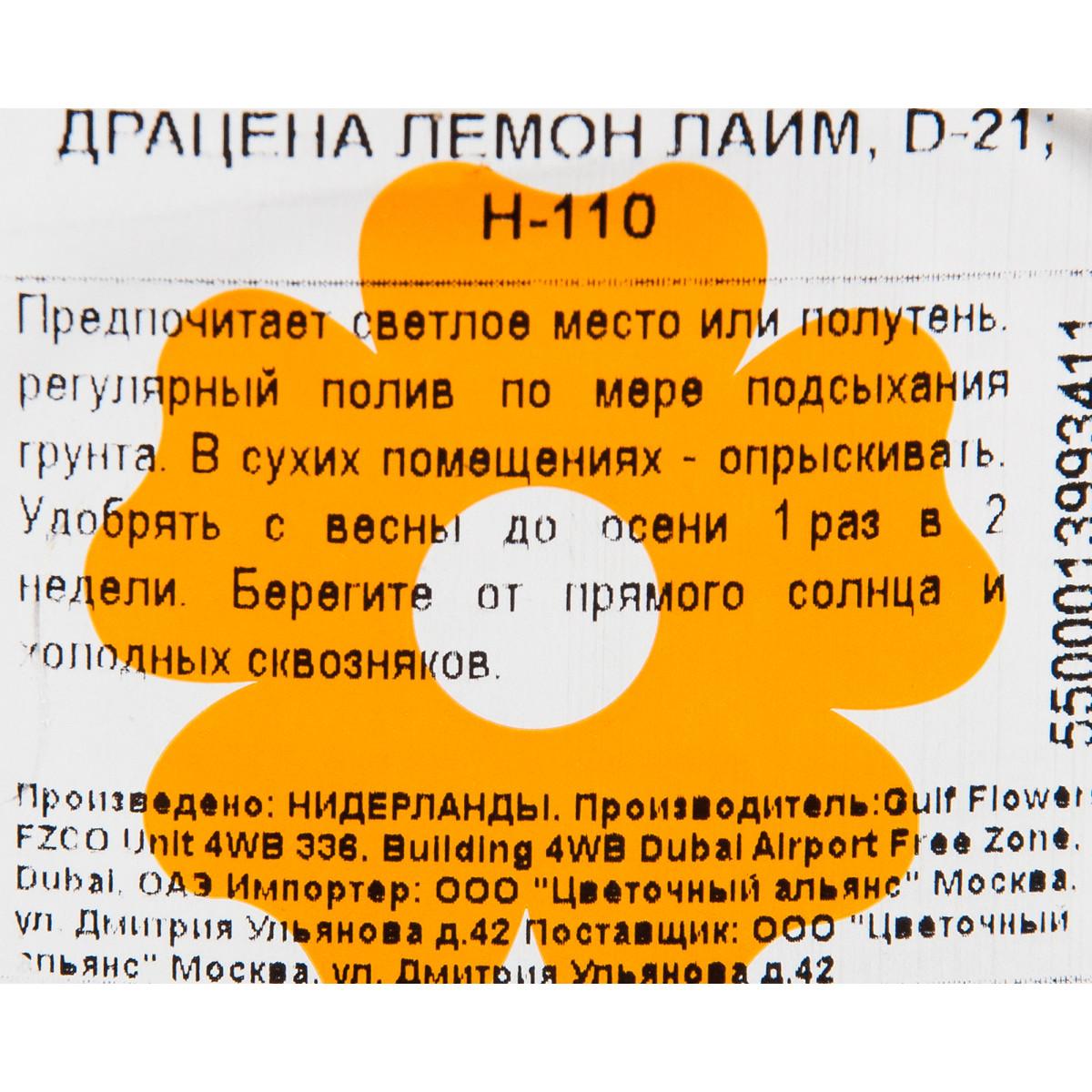 Драцена Лимон Лайм 21Х110