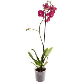 Орхидея Фаленопсис микс 1 стебель ø12 h50 см