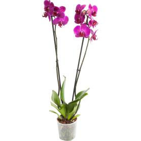 Орхидея Фаленопсис микс 2 стебля ø12 h60 см