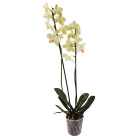Орхидея Фаленопсис Солид Голд ø12 h60 см желтый