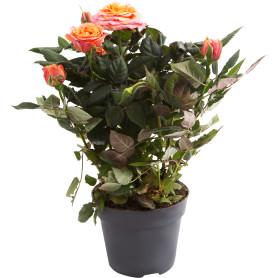 Роза Патио Хит микс 13х35 см