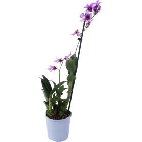 Орхидея Дендробиум Эмма микс 1 стебель ø12 h60 см