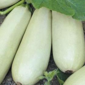 Семена Кабачок «Ролик»
