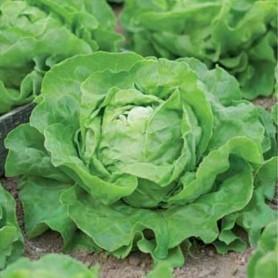 Семена Салат «Крупнокочанный»