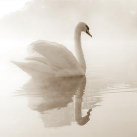 Фотообои флизелиновые «Лебедь» 200х200 cм
