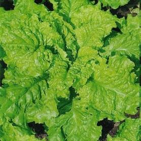 Семена Салат листовой «Неженка»