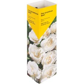 Роза«Флорибунда» эконом, в ассортименте