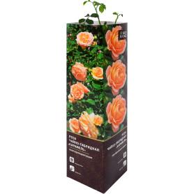 Роза чайно-гибридная «Карамель» в тубе