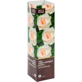 Роза чайно-гибридная «Хельга» в тубе