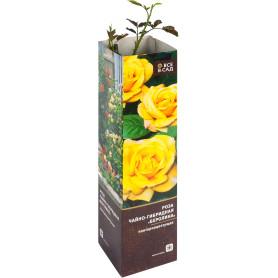 Роза чайно-гибридная «Беролина» в тубе