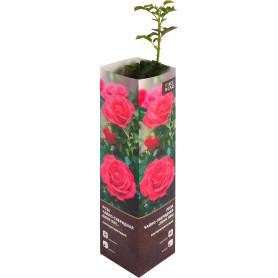 Роза чайно-гибридная «Пинк Пис» в тубе