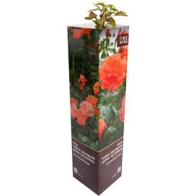 Роза чайно-гибридная «Дорис Тистерман» в тубе