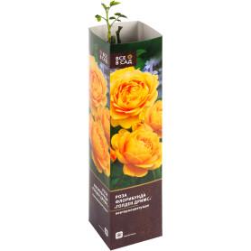 Роза флорибунда «Голден Дримс» в тубе