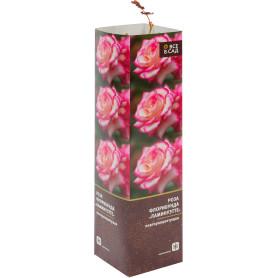Роза флорибунда «Ламинуэтте» в тубе