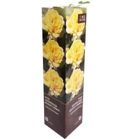 Роза флорибунда «Йеллоу Саммер» в тубе