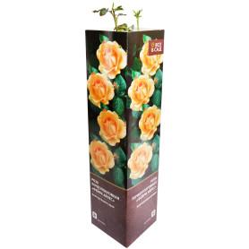Роза почвопокровная «Фейри Айлес» в тубе