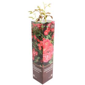 Роза почвопокровная «Зе Меджикал Кавер» в тубе