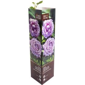 Роза плетистая «Инголетта» в тубе