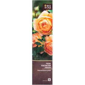 Роза плетистая «Лиана» в тубе