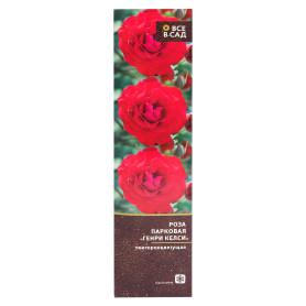Роза парковая «Генри Келси» в тубе
