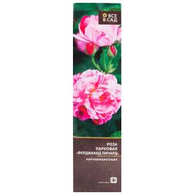 Роза парковая «Фердинанд Пичард» в тубе