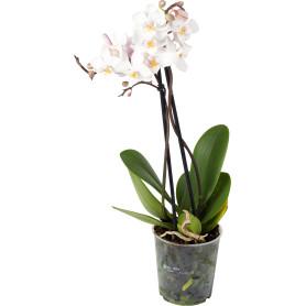 Орхидея Фаленопсис Супер экстра микс 1 стебель ø9 h40 см