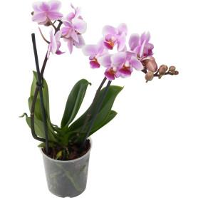 Орхидея Фаленопсис Супер экстра микс 2 стебля ø9 h40 см