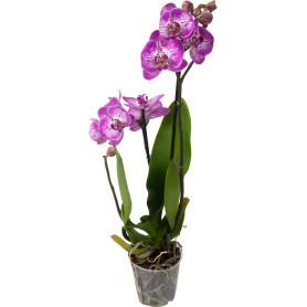 Орхидея Фаленопсис Стандарт микс 1 стебель ø12 h60 см