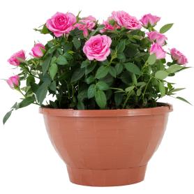Роза Кордана в кашпо 22x22 см
