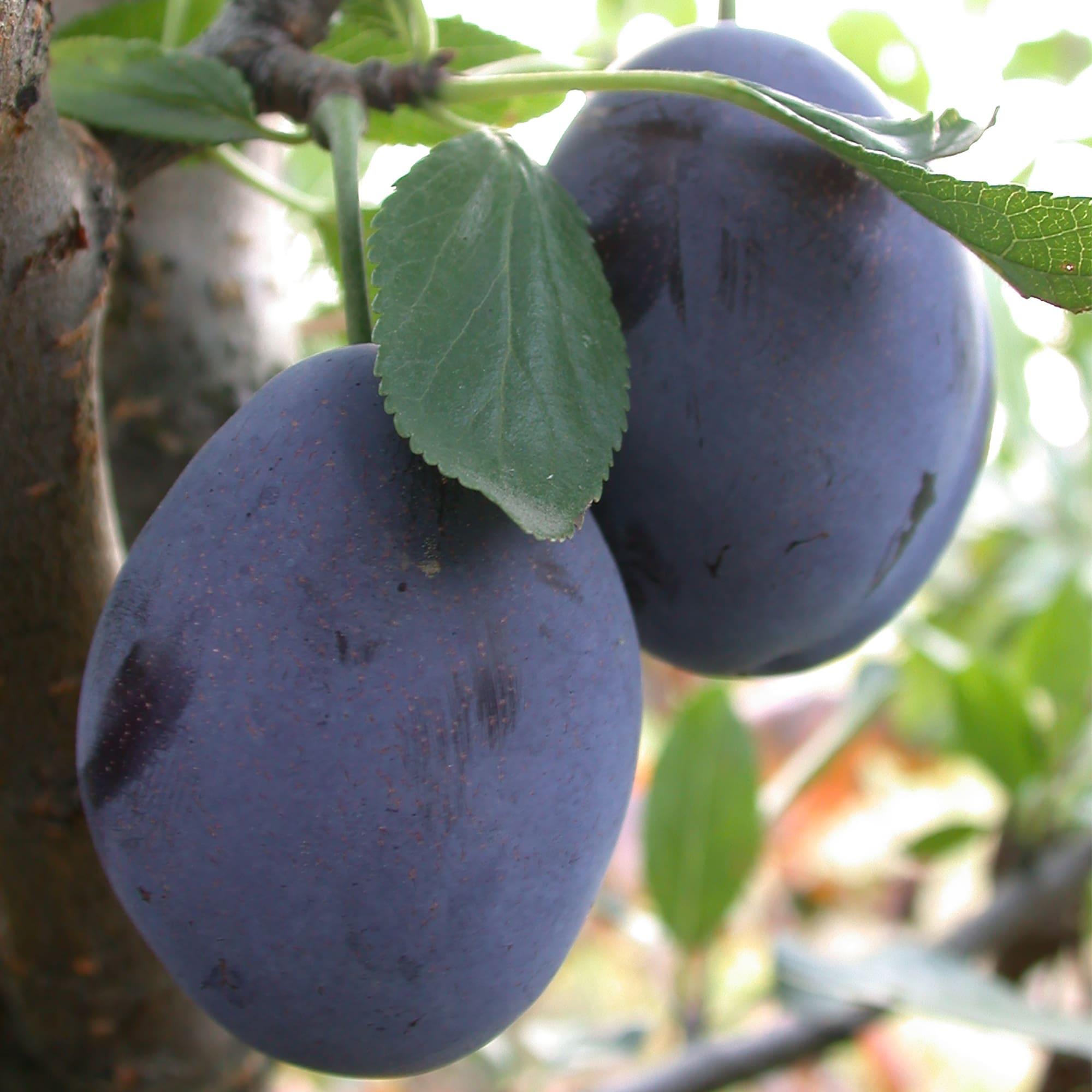 Muslim plum milff
