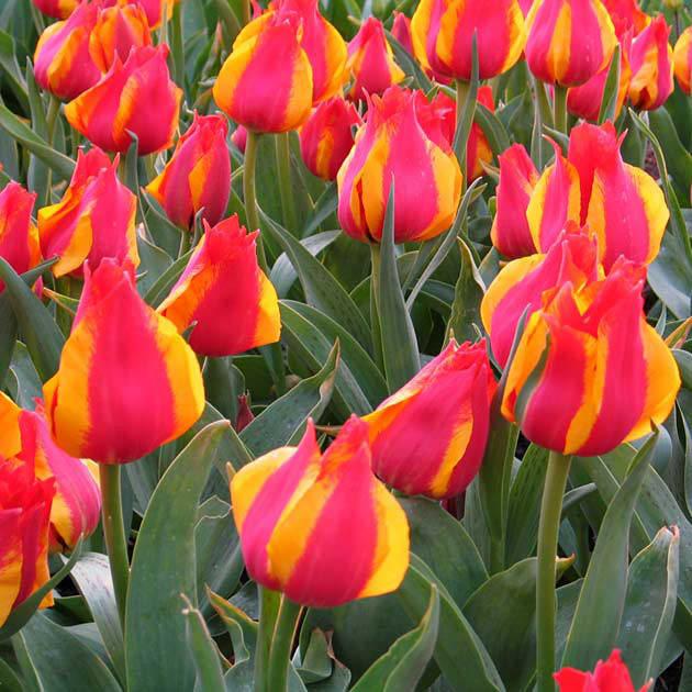 Букеты, цветы киев купить тюльпаны