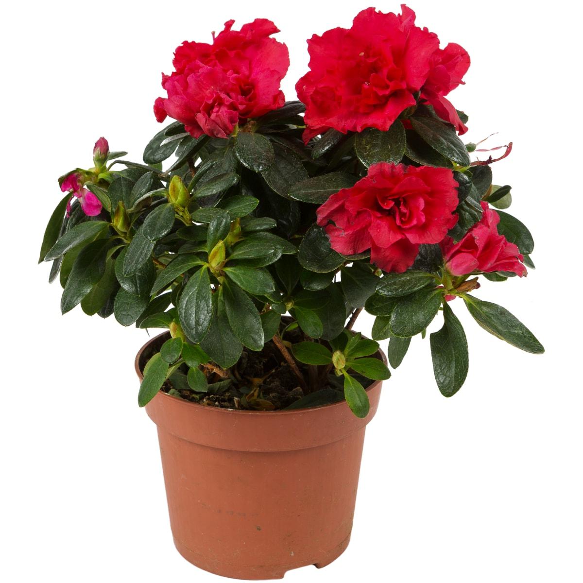 для азалия комнатное растение фото адлер характеру