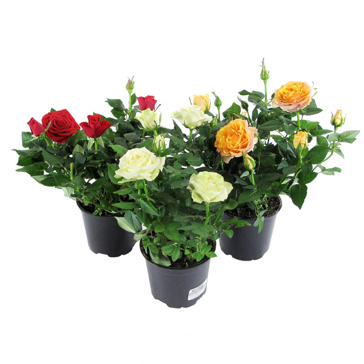 розы патио фото мнению суда