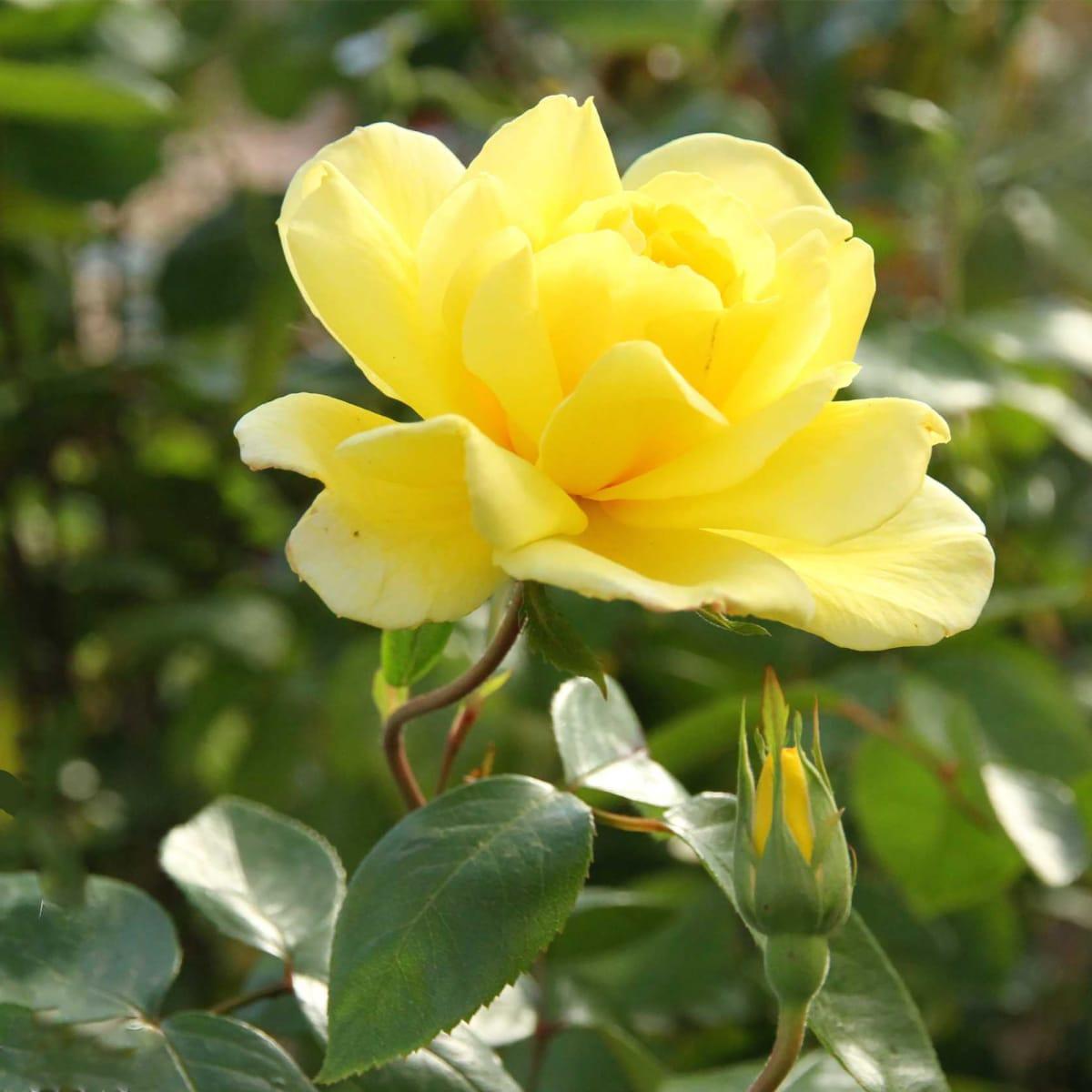 модуль роза голден парфюм фото и описание главный фасад здания