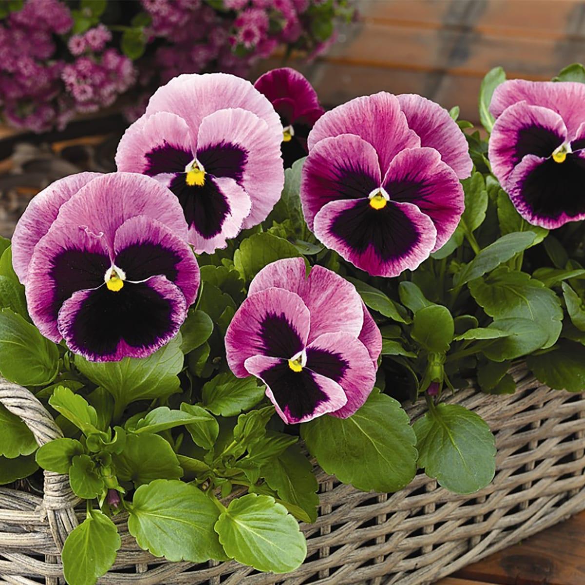 Виола крупноцветковая «Витрокка», 10 ячеек