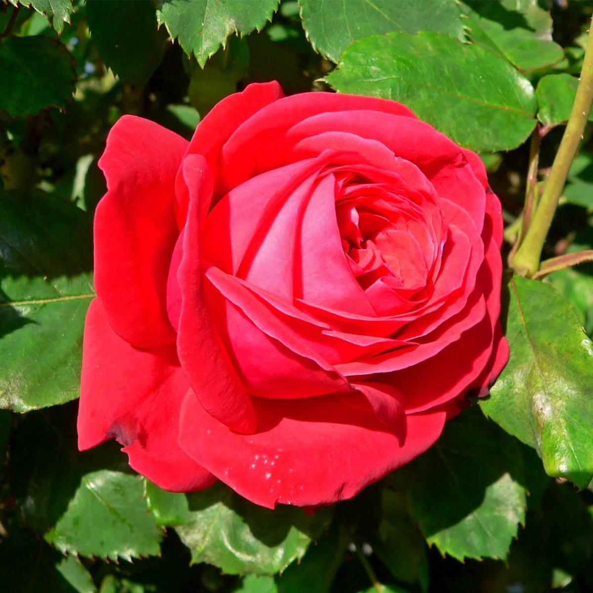 женщинам роза жуа де вивр фото тут комментаторы определили