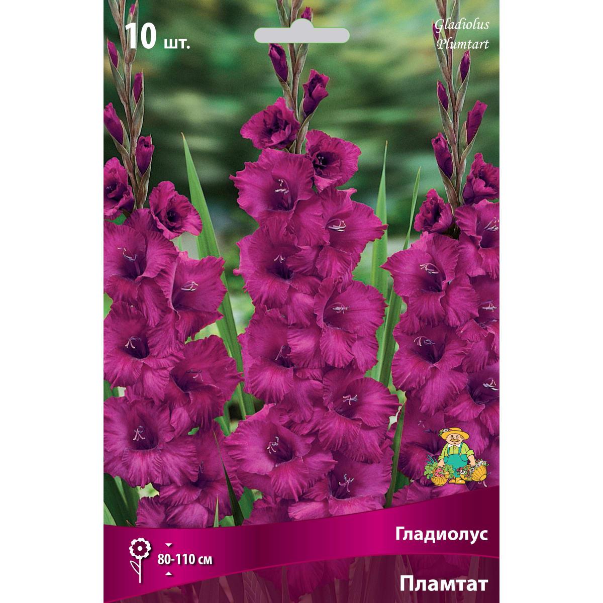 Гладиолус крупноцветковой «Пламтарт»