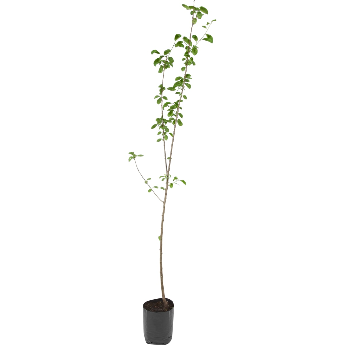 Алыча колоновидная 3-5 л 100-80 см