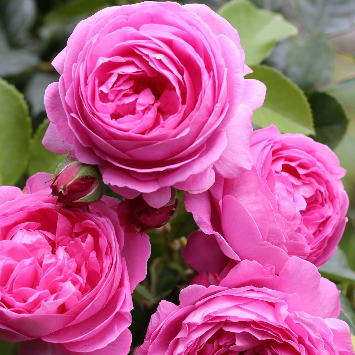 понять, есть розы парковые сорта фото и описание вас ждет