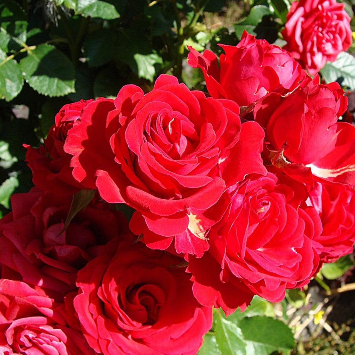 салавате карте розы плетистые фото с названием сорта можем