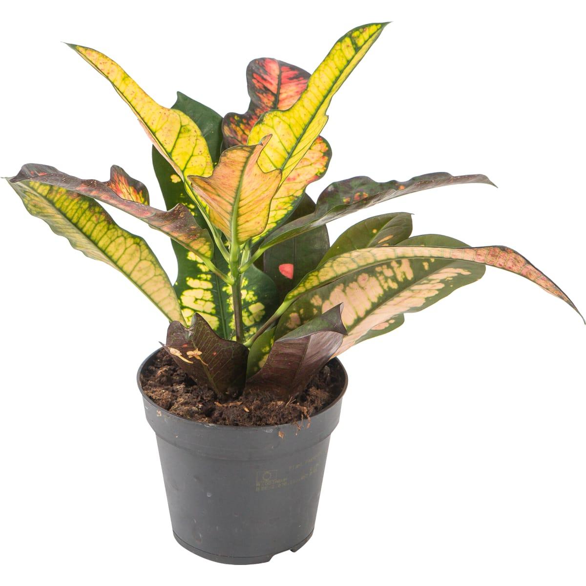 Кодиеум Пествола Мамми с большими листьями 13x35 см