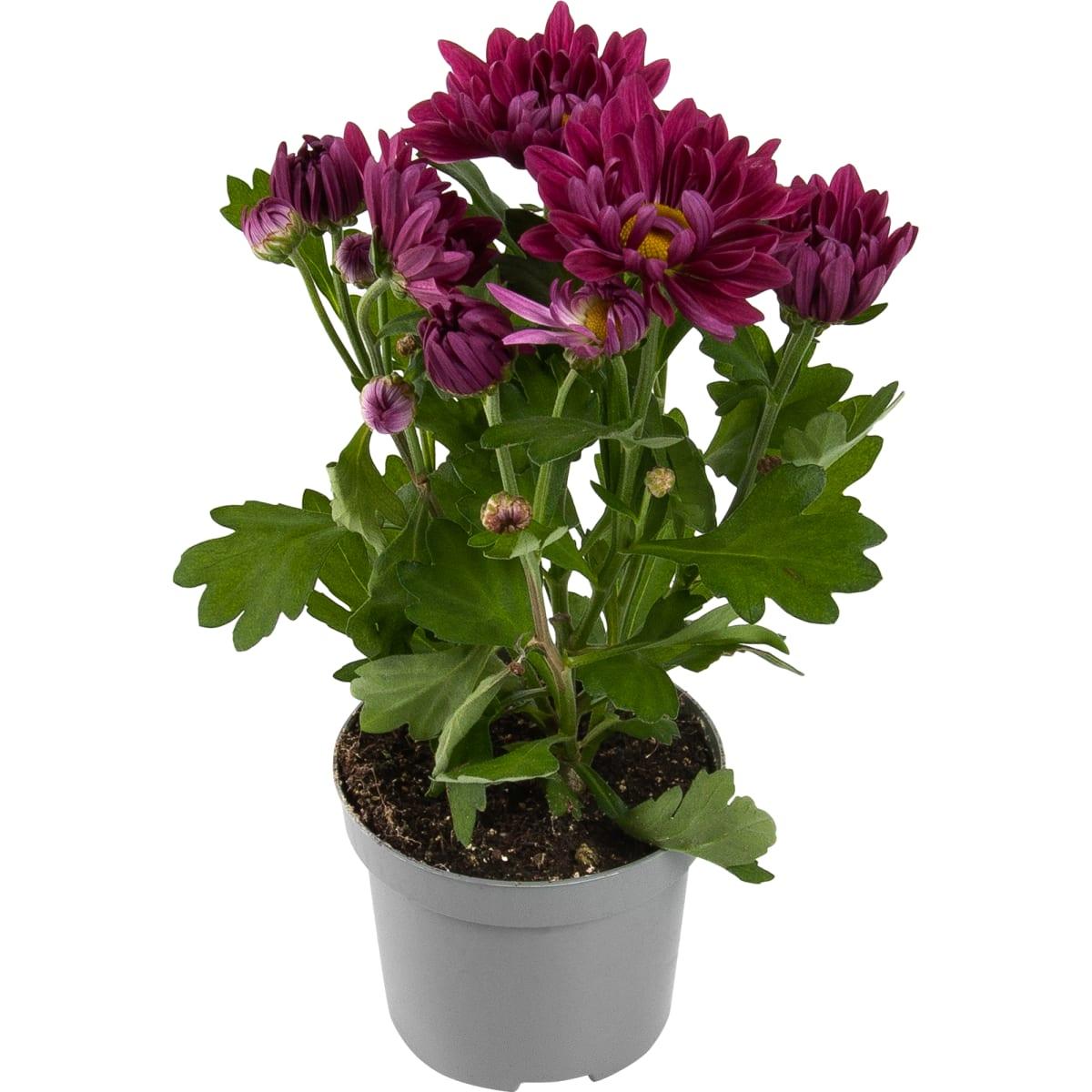 Хризантема микс 5 цветов 9x22.5 см