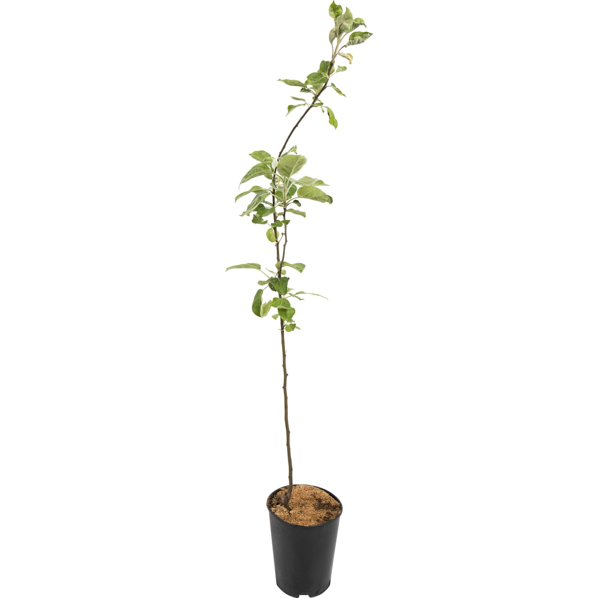 Яблоня «Богатырь» C4 высота 140 см