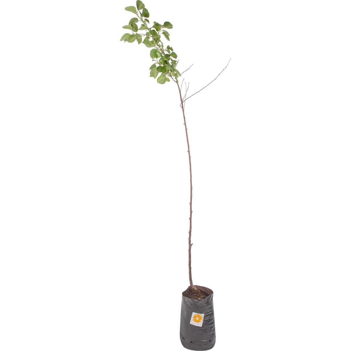 Вишня «Свердловчанка» 3-5 л высота 100 см