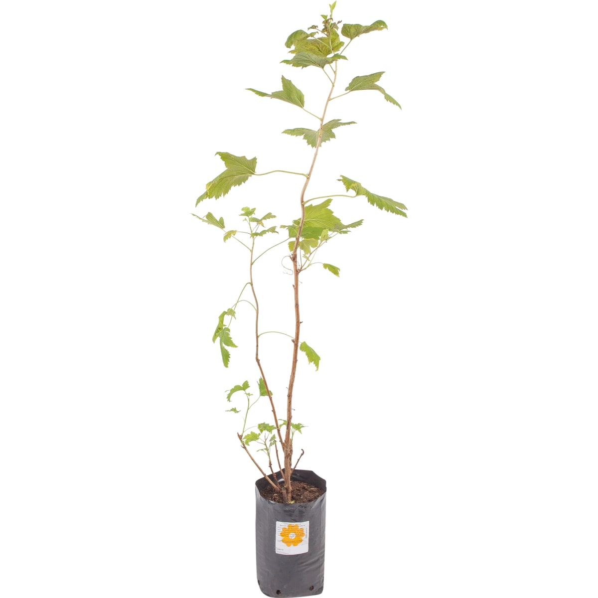 Смородина чёрная «Детскосельская» 1.5-2 л высота 20 см