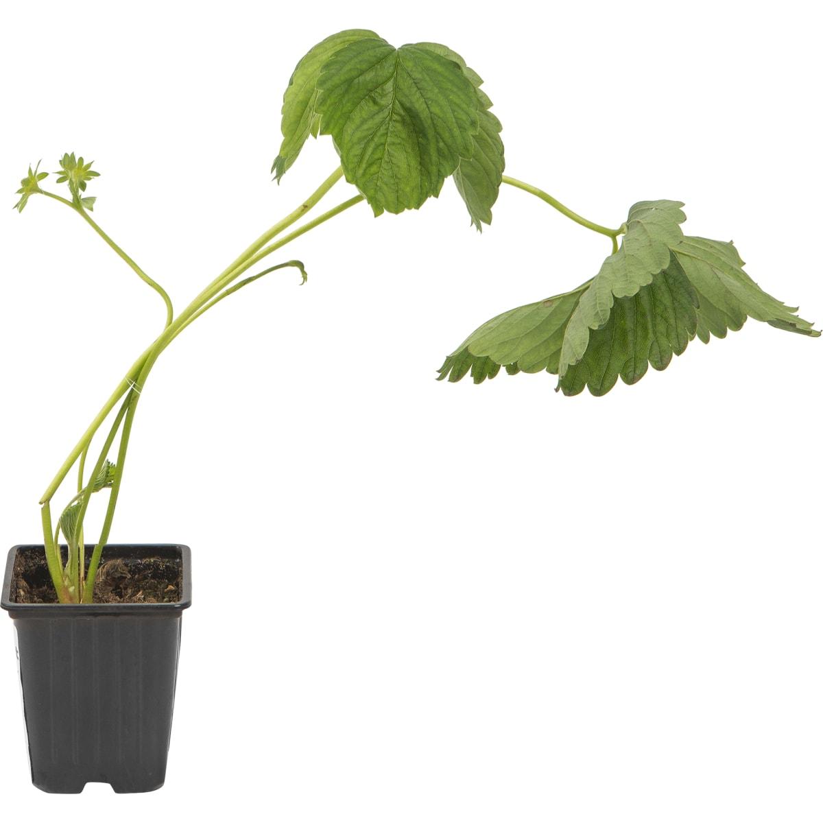 Земляника садовая «Дероял» 9x15 см
