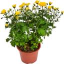Хризантема 15х35 см